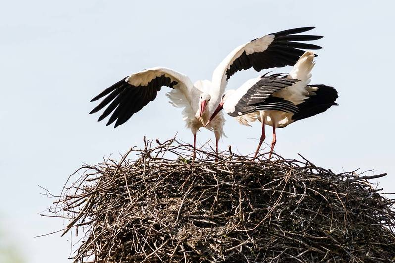 Storchennest in Essel mit Storch