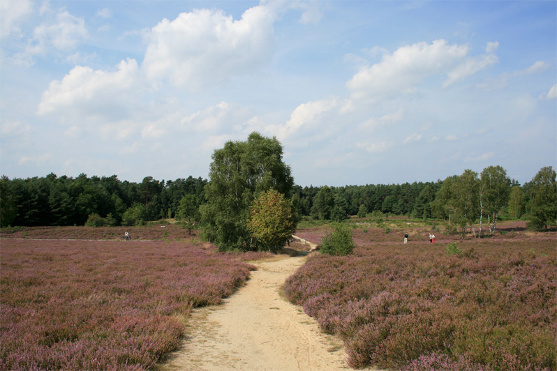 blühende Heide am Angelbecks Teich, Hermannsburg