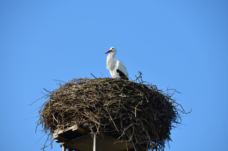 Weißstorch im Nest in Hornbostel im Kreis Celle in der Lüneburger Heide