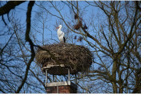 Weißstorch im Nest in Hornbostel im Kreis Celle in der Lüneburger Heide 2016